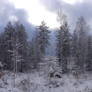 Зимний лес в Кайнуу