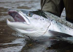 Норвежский лосось