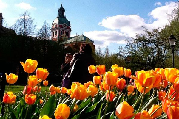 Тюльпаны в Стокгольме.